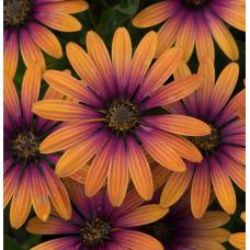 Osteospermum Serenity Flower Power Purple Sun