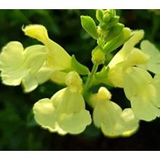 Salvia Lemon Light