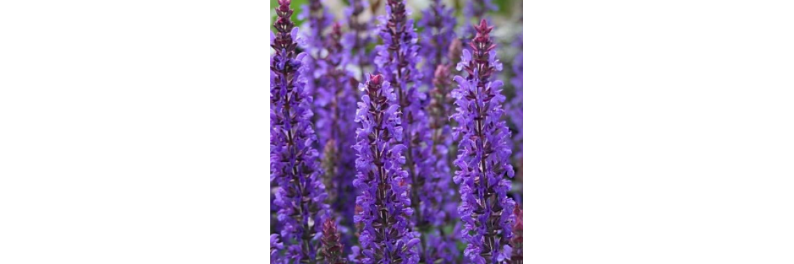 Salvia Sensation Deep Blue